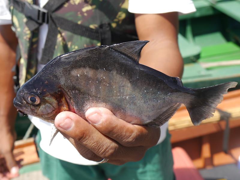 Mein erster Fischfang: ein Piranha
